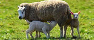Молочная овца