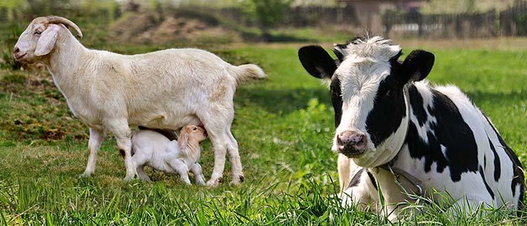Коровье или козье молоко